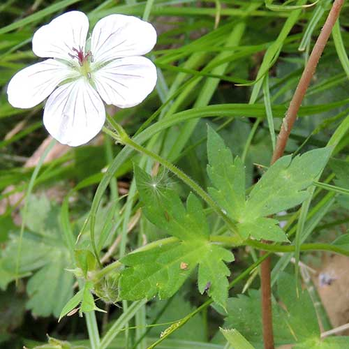 Geranium richardsonii photo © by Mike Plagens
