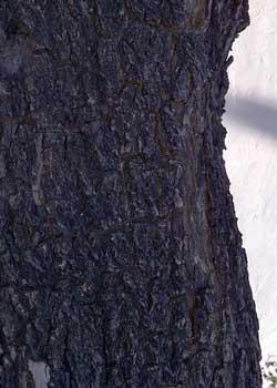 fissured and scaled bark of jacaranda is dark gray