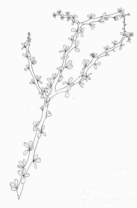 Jatropha cuneata Pen & Ink © by Michael Plagens
