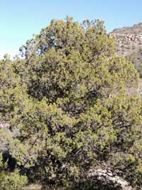 Red-berry Juniper, Juniperus coahuilensis, photo © by Michael Plagens
