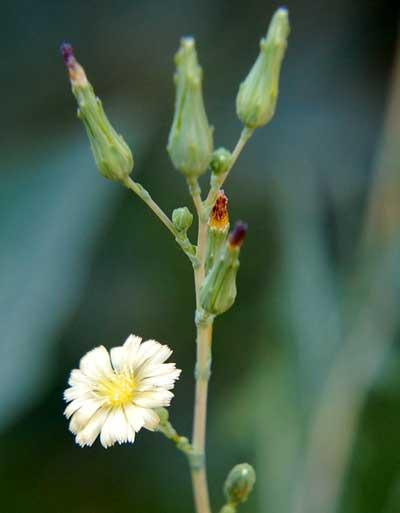 Prickly Lettuce, Lactuca serriola, photo © by Michael Plagens