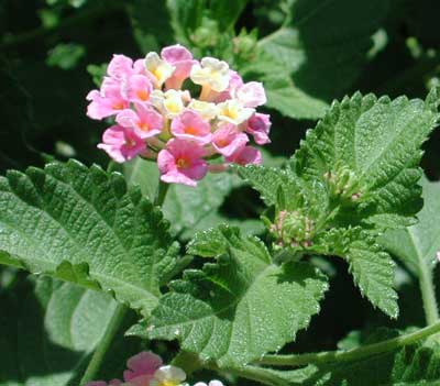 wild type lantana growing as voluteer in Phoenix, Arizona
