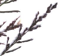 spikelets of sprangletop, Leptochloa panicea