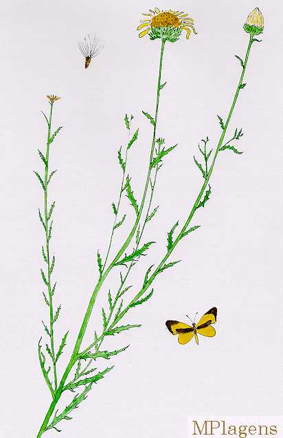 Machaeranthera pinnatifida Watercolor © by Michael Plagens