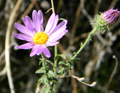 Tansey-leaf Tansey-Aster photo © by Mike Plagens