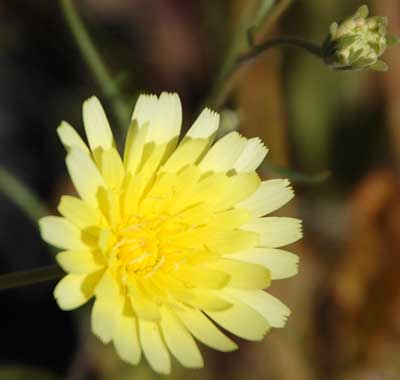 Desert Dandelion, Malacothrix glabrata, photo © by Michael Plagens