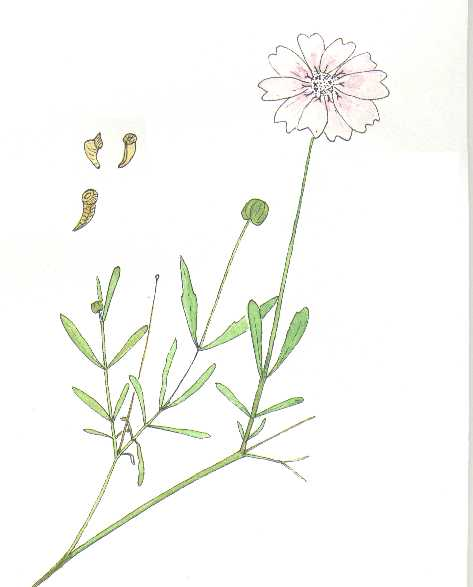 Plains Blackfoot, Melampodium leucanthum, watercolor illustration © by Michael Plagens