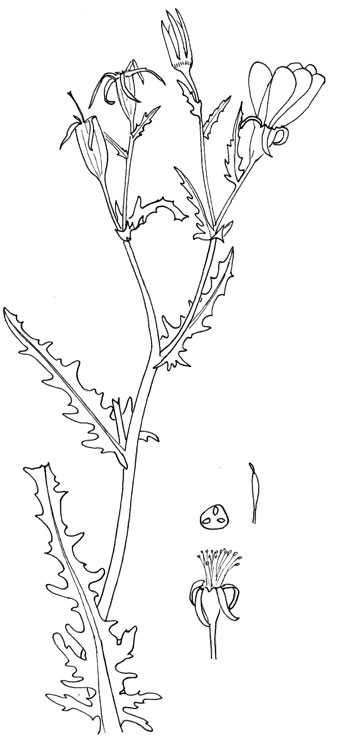 Stick-Leaf or Blazing Star, Pen & Ink illustration © Mike Plagens
