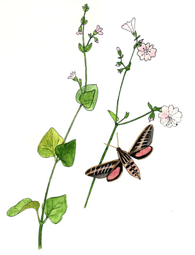 Hyles lineata and Mirabilis laevis Watercolor © by Michael Plagens