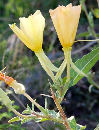 Oenothera elata Photo © by Michael Plagens