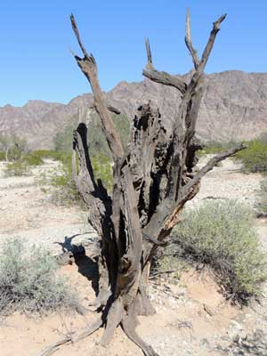 wood of dead Desert Ironwood, Olneya tesota, © by Michael Plagens