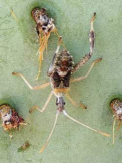 Narnia bug on Opuntia chlorotica photo © by Michael Plagens