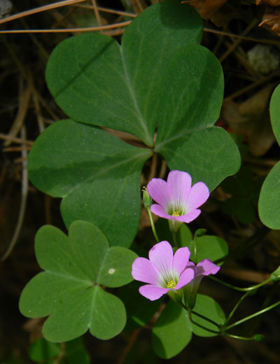 Alpine Woodsorrel, Oxalis alpina, photo © by Mike Plagens