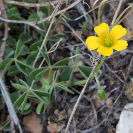Oxalis stricta photo © by Mike Plagens
