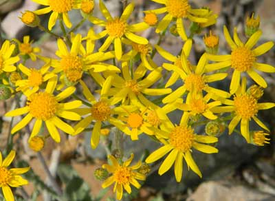 New Mexico Groundsel, Packera neomexicana, © by Michael Plagens