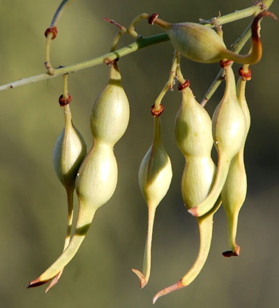 ripening seeds of Foothill Palo Verde, Parkinsonia microphylla, © by Michael Plagens