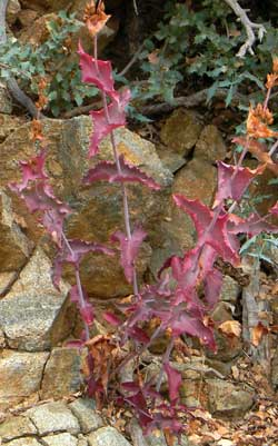 Autumn leaves of Penstemon pseudospectabilis photo © by Michael Plagens