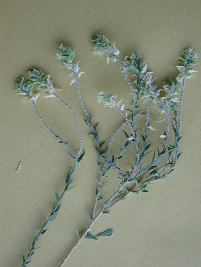 Sandpaper Plant, Petalonyx thurberii photo by Michael Plagens