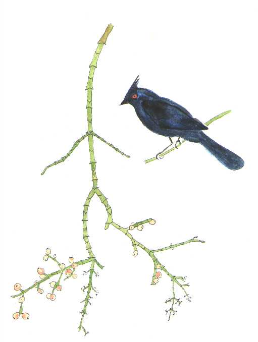 watercolor of Phainopepla and desert mistletoe © by Michael Plagens