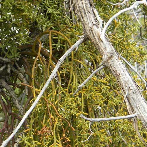Juniper Mistletoe, Phoradendron juniperinum, © by Michael Plagens