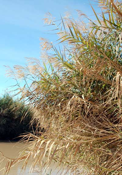 Common Reed, Phragmites, photo © by Mike Plagens