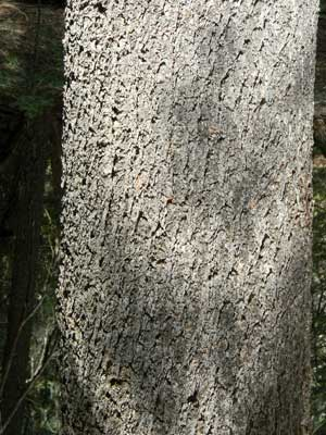 bole and bark of Limber Pine, Pinus flexilis, photo © by Mike Plagens