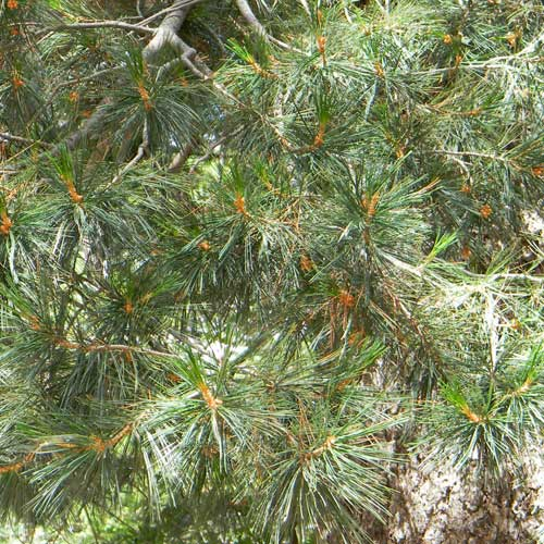 Limber Pine, Pinus flexilis, photo © by Mike Plagens