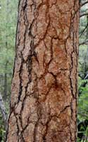 leaf of Scurf Pea, Psoralidium tenuiflorum
