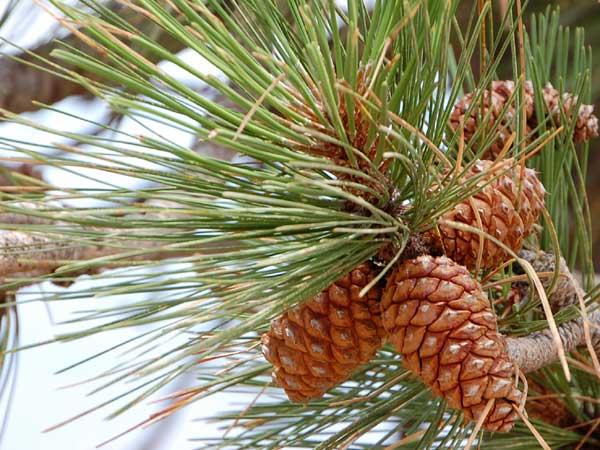 Ponderosa Pine, Pinus ponderosa, photo © by Mike Plagens