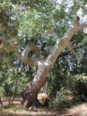 Arizona Sycamore, Platanus wrightii, © by Michael J. Plagens