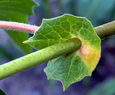 View of leaf petiole and the fused stipules that encircle the stem. Arizona Sycamore, Platanus wrightii, © by Michael J. Plagens