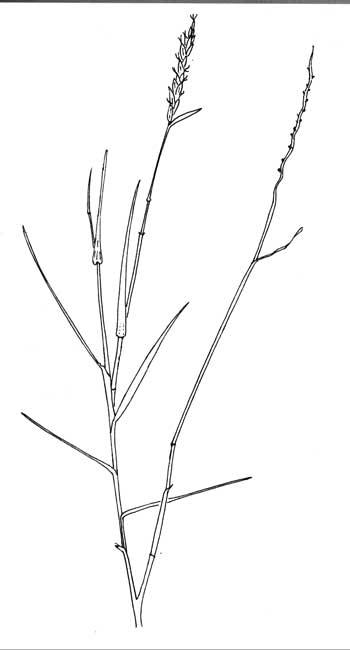 Grasses In The Sonoran Desert