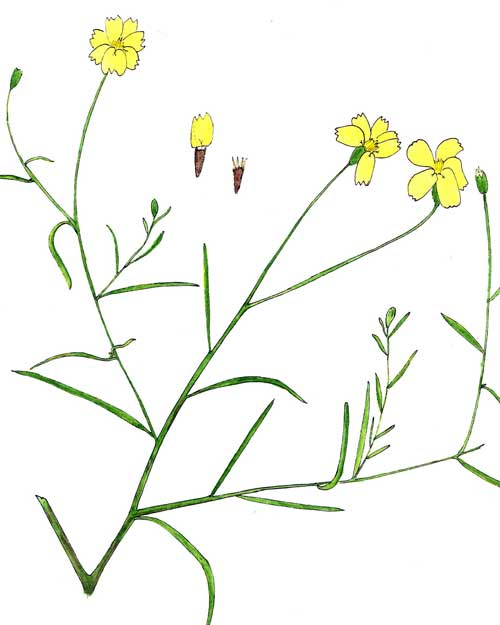 Watercolor illustration of paper Flower, Psilostrophe cooperi, copyright by Michael Plagens