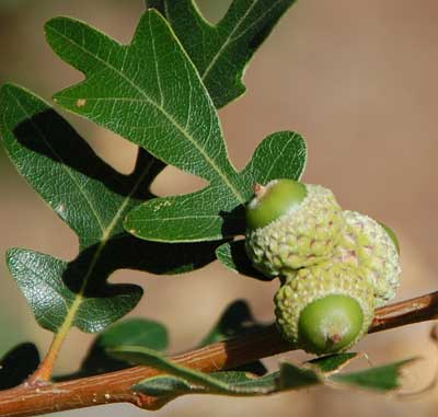 Quercus gambelii photo © by Mike Plagens