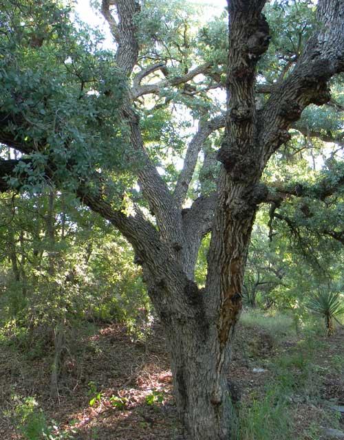 Mexican Blue Oak, Quercus oblongifolia, © by Michael Plagens