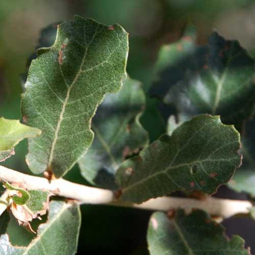 Net-leaf Oak, Quercus rugosa, © by Michael Plagens