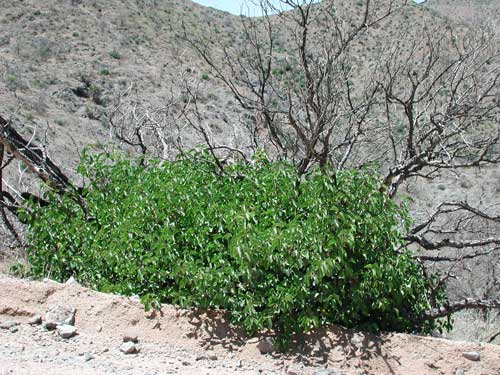 photo of Rhus ovata regrowing after the Cave Creek Complex Fire © Mike Plagens