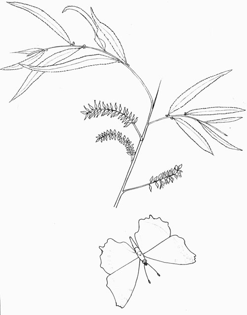Salix gooddingii original pen & ink illustration © by Michael Plagens