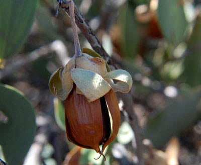 mature fruit of Simmondsia chinensis conaining one seed; photo © Mike Plagens
