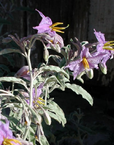 Solanum eleagnifolium Photo © by Michael Plagens