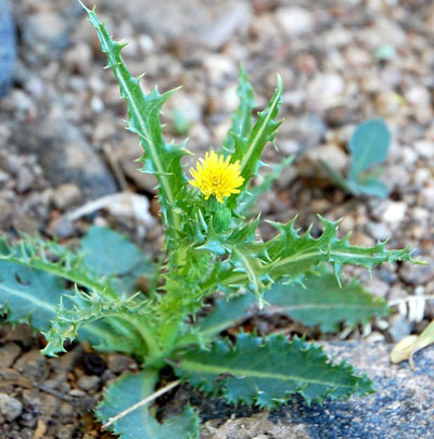 Prickly sow thistle in the sonoran desert mightylinksfo