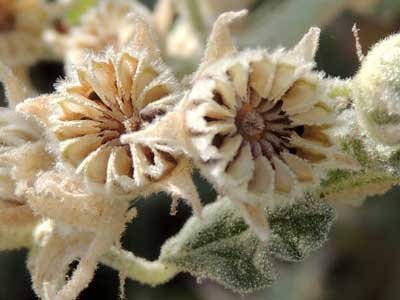 fruit and schizocarps of Desert Globe Mallow, Sphaeralcea ambigua, Photo © by Michael Plagens