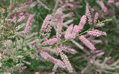 tamarisk flowers photo © Mike Plagens