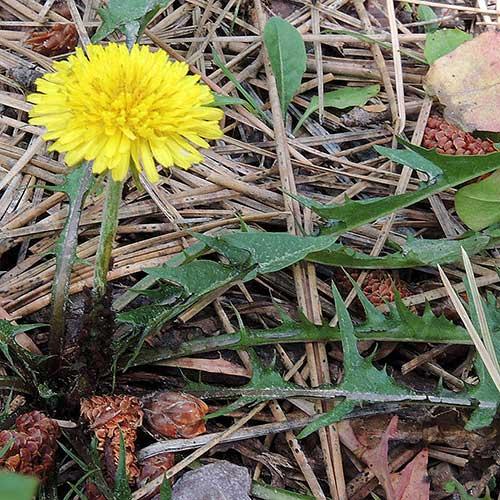 Common Dandelion, Taraxacum officinale, photo © by Mike Plagens