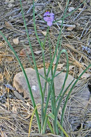Habit of Tradescantia pinetorum, photo © by Mike Plagens