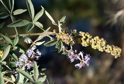Vitex agnus-castus photo © Michael Plagens