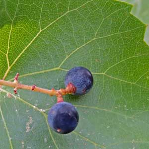 Vitis arizonica, Canyon Grape, photo © by Michael Plagens