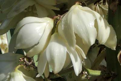 large flowers of Yucca madrensis, photo © by Michael Plagens