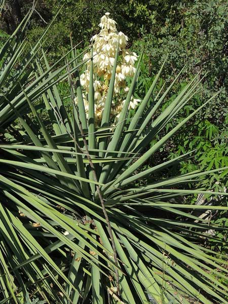 Yucca madrensis photo © by Michael Plagens