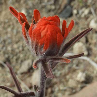 Desert Paintbrush, Castilleja chromosa, © by Michael Plagens